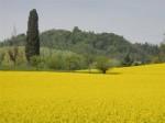 """Field of rapeseed in flower near Villa """"La Rotonda"""", Vicenza, Italy. Foto di Sebastiano Romio"""
